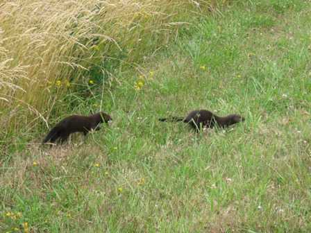 Weasels at the Cape Blanco State Park