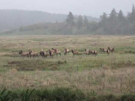 Elk at Sixes Flats at Cape Blanco State Park
