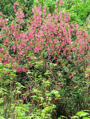 Humbug- Fern Trail- Red Flowering Currant