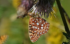 Oregon silverspot butterfly reintroduced to Saddle Mountain